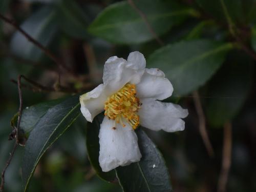 サザンカ 晩秋 白い花