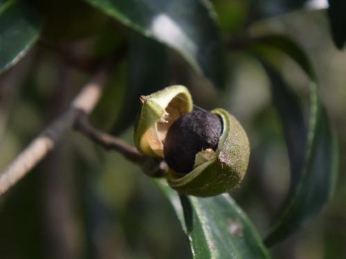 サザンカ 秋 皮が割れて中から黒い種子が表れる