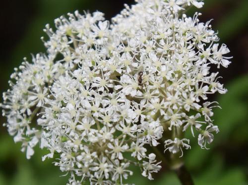 シラネセンキュウ 秋に小さな白い花