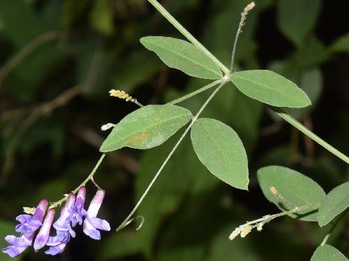 オオバクサフジ 羽状複葉 互生 小葉は楕円形 全縁 先端から巻きひげ