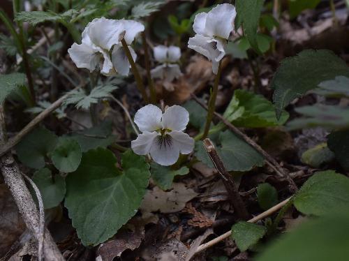 マルバスミレ 丸葉菫