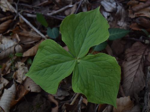 シロバナエンレイソウ 広楕円形の葉は3輪生