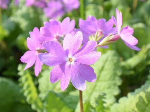 サクラソウ 春 ピンクから赤紫
