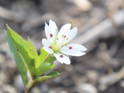 ワダソウ 晩春に小さな白いな花