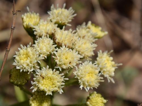 フキ 早春 クリーム色の雌花
