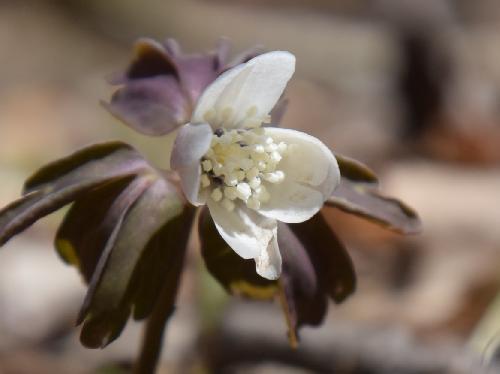 アズマイチゲ 春に白い花