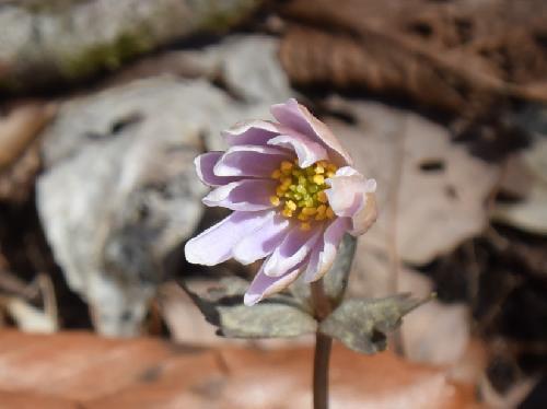 ユキワリイチゲ 早春に薄紫色の花
