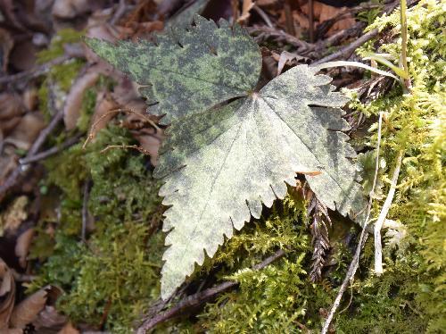 ユキワリイチゲ 3出複葉で子葉は卵形で鋸歯