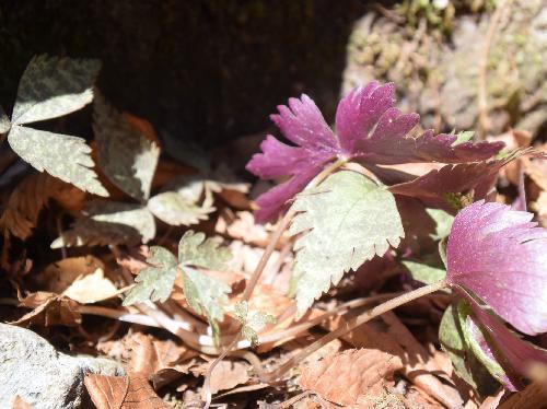 ユキワリイチゲ 裏は紫色