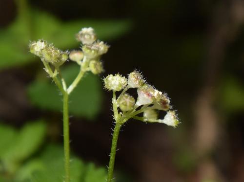 カテンソウ 晩春に小さな目立たない黄緑色の雄花