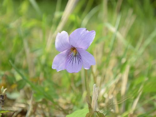 アケボノスミレ 春にピンクの花