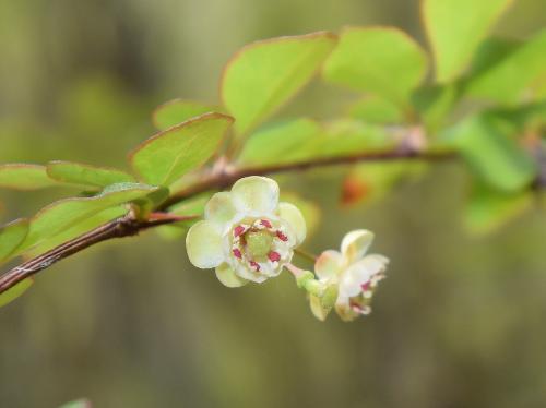 メギ 晩春 小さな白い花 葯が赤