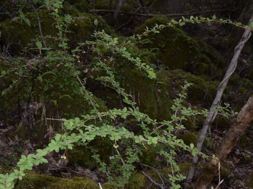 メギ 目木