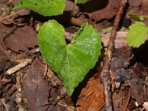 アケボノスミレ 葉はハート形 鋸歯