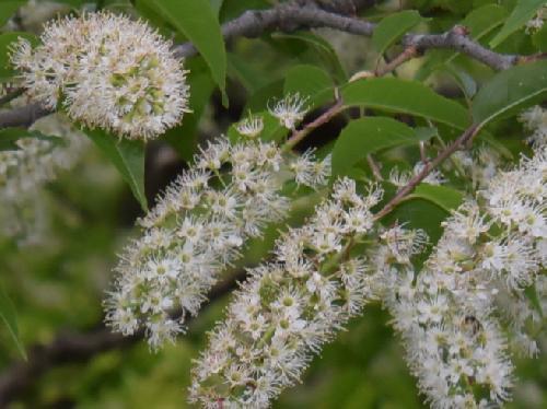 ウワミズザクラ 晩春に白い花を房状