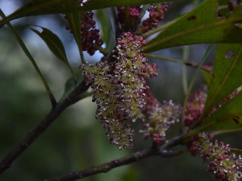 ヤマモモ 春に赤紫の穂状の雄」花