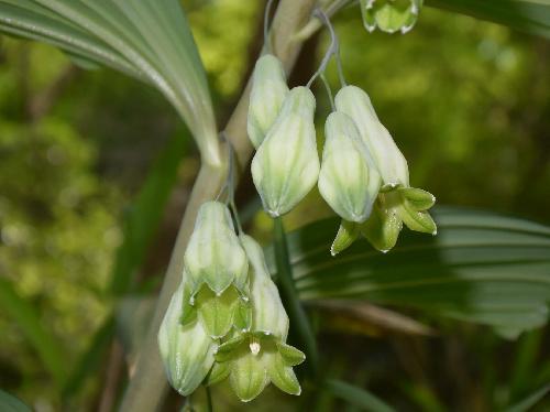 オオナルコユリ 晩春から初夏にかけて先端が黄緑色の白い花