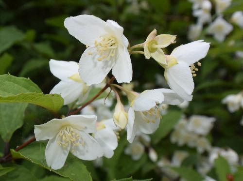 バイカウツギ 晩春~初夏に白い4弁花