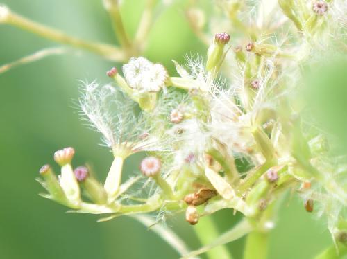 カノコソウ 初夏 白い羽毛状の綿毛のある黄緑色で楕円形の実