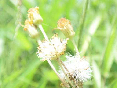 オカオグルマ 初夏 白い綿毛