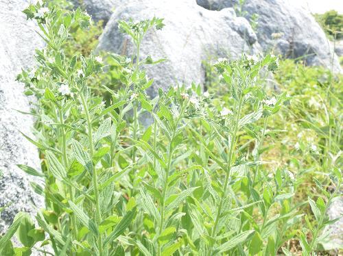 ムラサキ 紫草