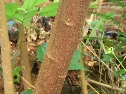 ヤナギイチゴ 茶褐色の幹 縦方向の皮目
