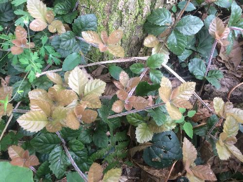ツルコウジ 薄茶色の新葉