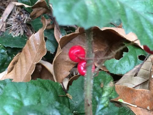 ツルコウジ 球形で冬に赤く熟す