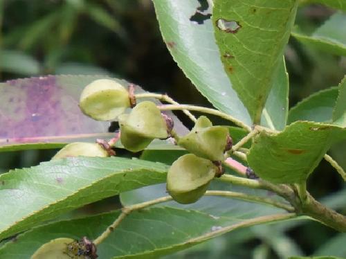 コクテンギ 果実は4稜ある