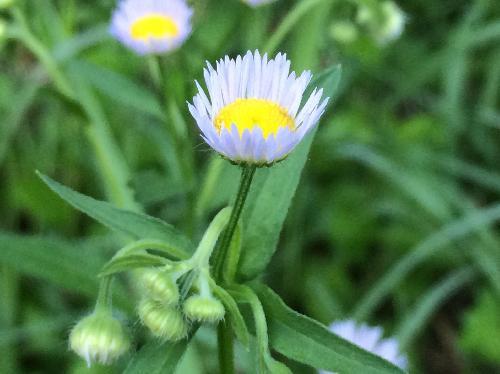 ヒメジョオン 初夏 白い花