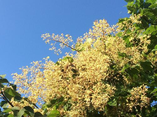アオギリ 初夏 房状のクリーム(白黄)色の花