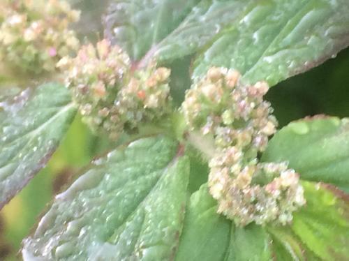 シマニシキソウ 夏にごく小さな茶褐色の花