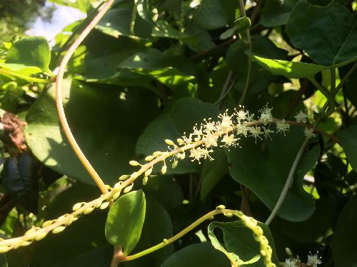 アカザカズラ 秋に小さな白い花