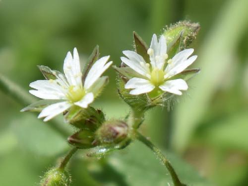 ミミナグサ 春 小さな白い花