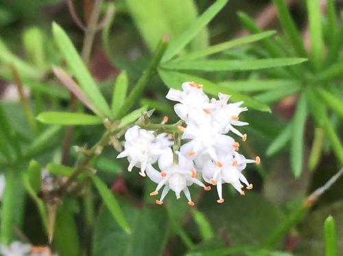 クサスギカズラ 初夏から初秋に小さな白い花