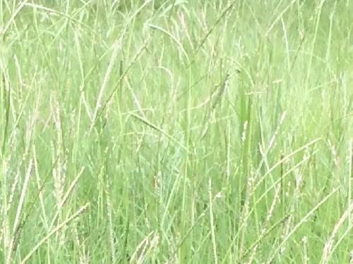亜米利加雀の稗