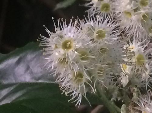 バクチノキ 秋ふさふさしたクリーム色の花