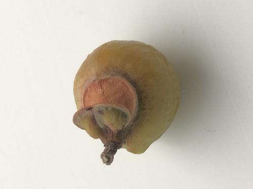 ムクロジ 球形で秋に黄褐色