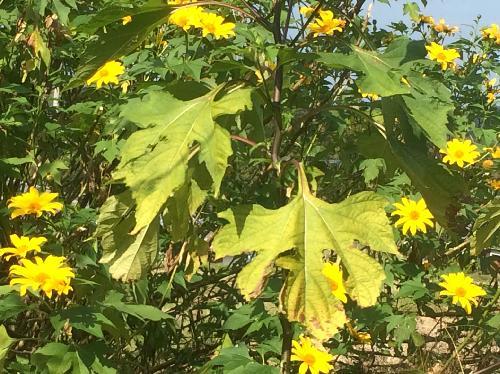 ニトベギク 葉は大きな掌状
