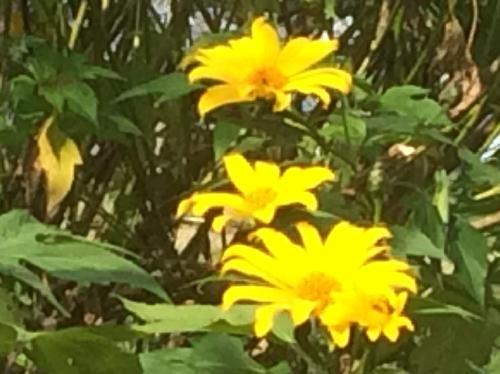 ニトベギク 晩春 大きな黄色い花