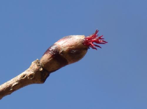 ツノハシバミ 初春赤い花柱を数本出す雌花