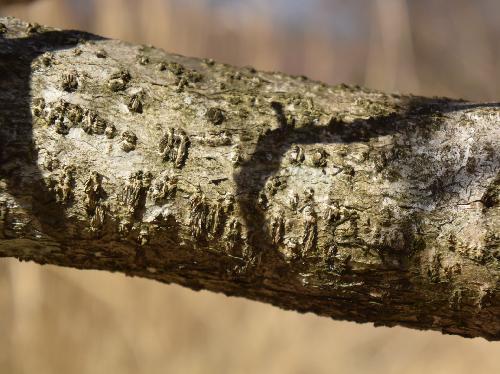 ツノハシバミ 灰褐色で皮目が目立つ