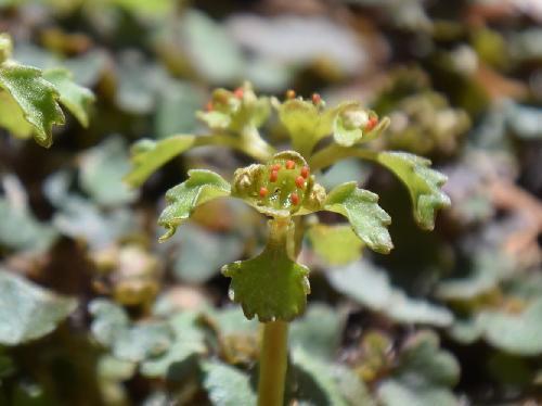 イワネコノメソウ 春に小さな緑色の花オレンジ色の葯