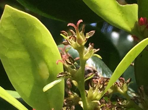 イスノキ 春雌花は目立たない褐色で花柱は2つに分かれる
