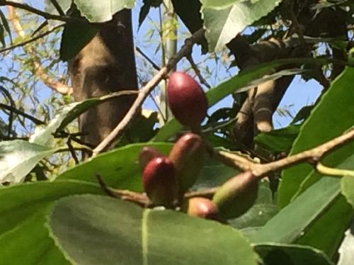 バクチノキ 楕円形の果実は初夏に紫色に熟す