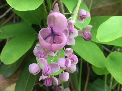 アケビ 晩春薄紫色の雌花(手前)と雄花