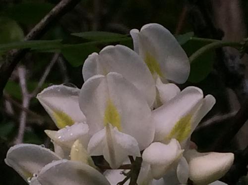 ハリエンジュ 白い豆花