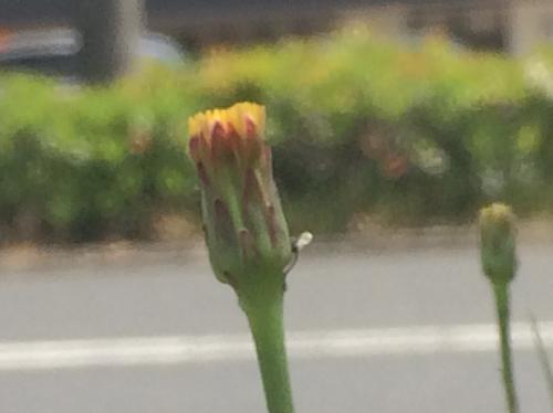 ヒメブタナ 晩春に小さな黄色い花
