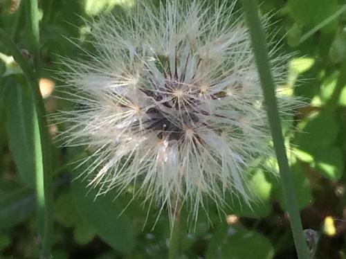 ヒメブタナ 晩春 白い綿毛