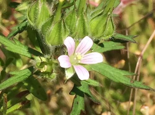 アメリカフウロ 春 小さな白桃の5弁花